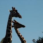 Reticulated Giraffes necking