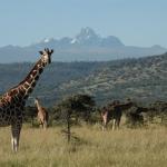 Reticultated giraffes and Mt. Kenya