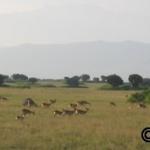 Kob below the Ruwenzori mountains