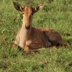 Hartebeest calf