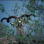 Kudu horn spirals