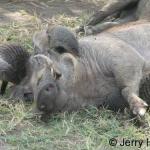Banded mongooose and warthog