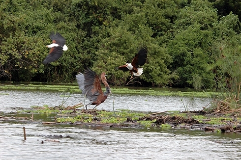 11-eagle-attack-heron-72