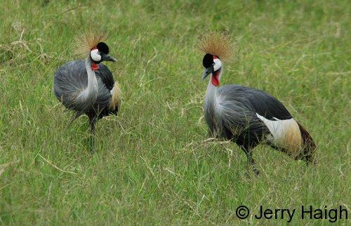 2-cranes-mburo-500