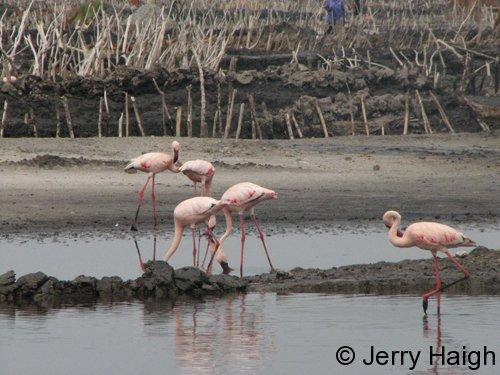 4-flamingos-katwe500