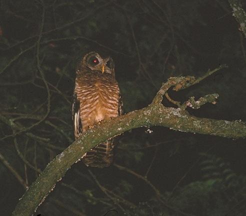 African-Wood-Owl.-Murchison-Falls-NP-Uganda