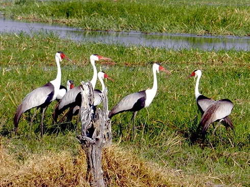 Delta-wattled-cranes-7re72