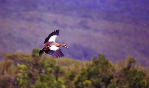 Flying-Egyptian-Goose-crop-72