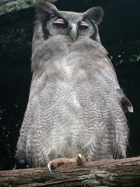 Verrauxs-Eagle-Owl-re-72