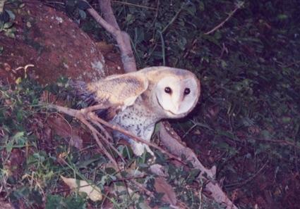 barn-owl-Ugandare72