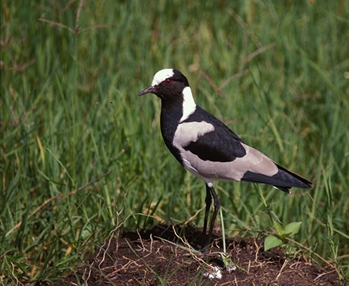 black-smith-plover-crop-72