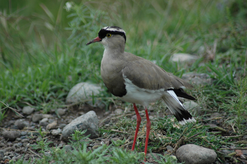 crowned-lapwing-500