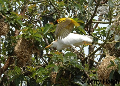 Egret attacking black-headed weaver nests while an adult bird tries to distract it. Ngamba Island, L. Victoria, Uganda