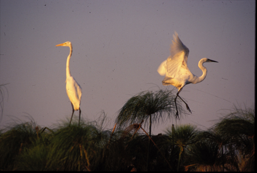 egrets-2-yellowbilled-500