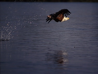 fish-eagle-and-water-drops-72-crop