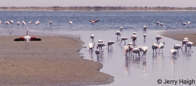 flamingoes-walvis-bay500