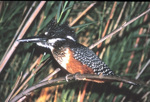 giant-kingfisher-72