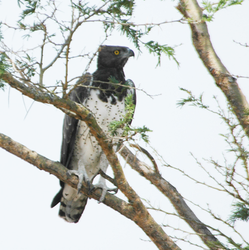Martial Eagle Queen Elizabeth NP. Uganda