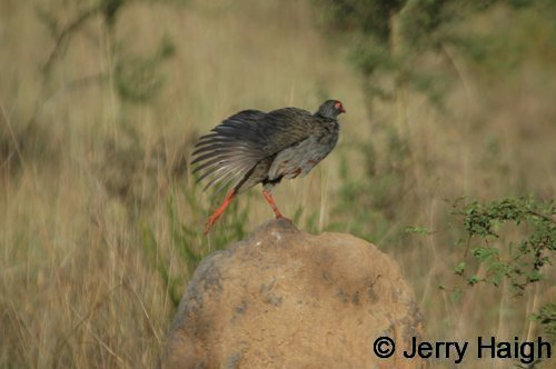Red-necked spurfowl. Morning stretch. Lake Mburo NP, Uganda