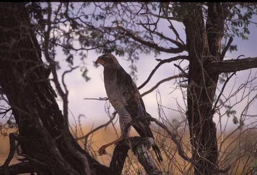 pale-chanting-goshawk1500