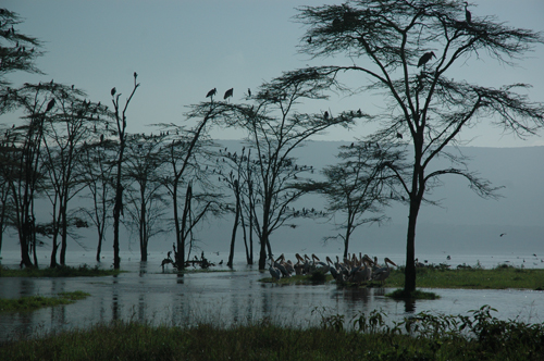 pelicans-marabou-storks-and-cormorants