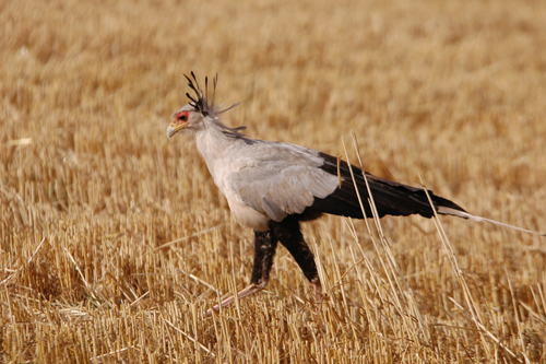 Secretary bird, Timau, Kenya