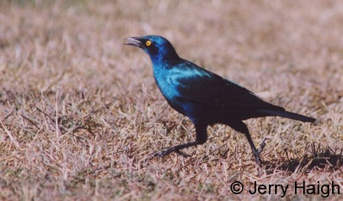 starling-walk-2-500