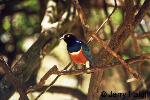 superb-starling500