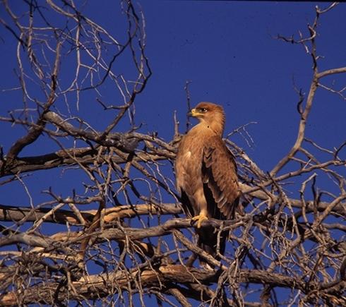 tawny-eagle-kalaharigemsbok-crop72