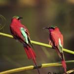 Southern Carmine bee-eaters. Okavango Delta, Botswana