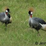 Crowned cranes. Lake Mburo NP, Uganda