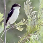 Common-Fiscal-Shrike500