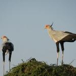 Delta secretary birds on the nest