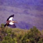 Flying-Egyptian-Goose-crop-72