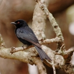 Fork-tailed-drongo-3-re-72