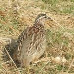 Hwange-crested-francolin-72