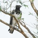 Martial-eagle-1500