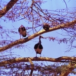 Spurwings-on-fever-tree-crop72