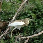 Squacco-heron-72