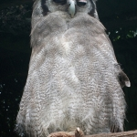 Verrauxs-Eagle-Owl-re-72