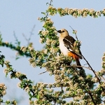 buffalo-weaver-crop-72