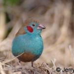 Cordon blue male. Timau, Kenya
