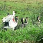 cormorants-Ibis-wing-72