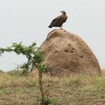 crop-vulture-termite-1-500