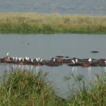 An unusual roost for egrets on the Nile