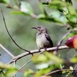 Variable sunbird female. Gilgil, Kenya