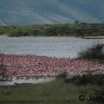 Massed flamingos on the shore-line. Lake Baringo, Kenya