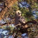 giant-eagle-owl-juvenille500