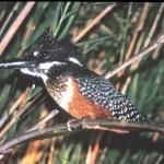 giant-kingfisher-72