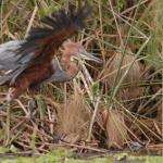 goliath-heron-flaps72